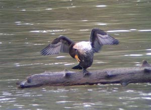 A Cormorant at the Squamish Estuary