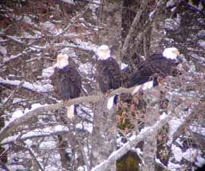 Bald Eagles in Brackendale BC